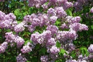 Lilacs- they will forever remind me of spring at Nanny's house....