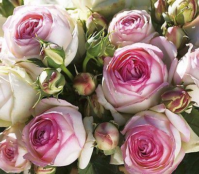 Kletterrose 'Eden Rose'; Blüte: Juni-September; Standort: sonnig