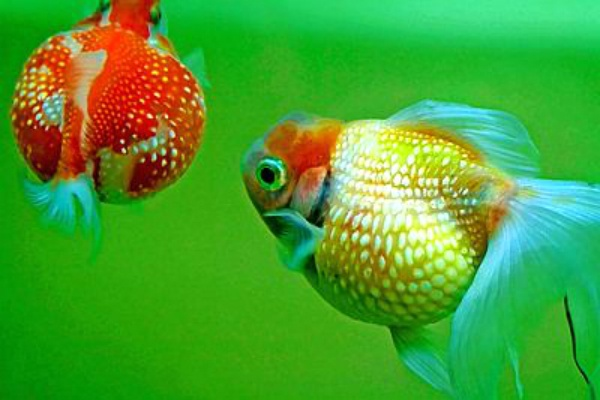 Die besten 25 goldfische im aquarium ideen auf pinterest for Goldfischteich pflege