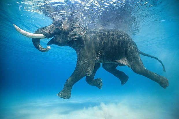 Jody Macdonald, Rajan IV, 2010 / 2014 © www.lumas.com/ #Lumas - Swimming Elephant