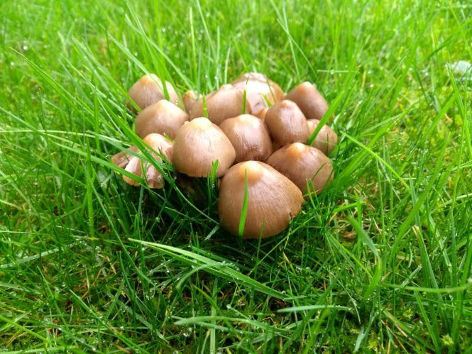 A small cluster of mushrooms growing on a lawn  | Fungus