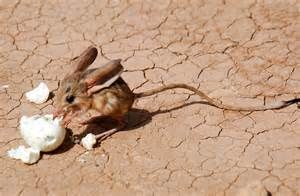 desert rodents - - Yahoo Image Search Results