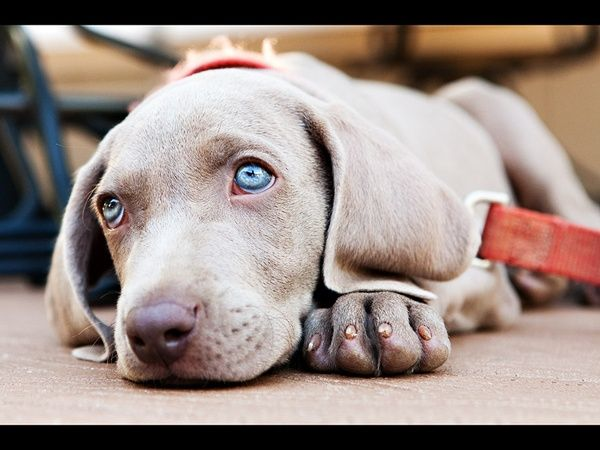 weimaraner. Dream Dog!!!: Baby Blue, Dreams Puppies, Weimaraner Lov, Gorgeous Eye, Puppies Eye, Families Dogs, Blue Eyes, Cutest Puppies, Weimaraner Puppies