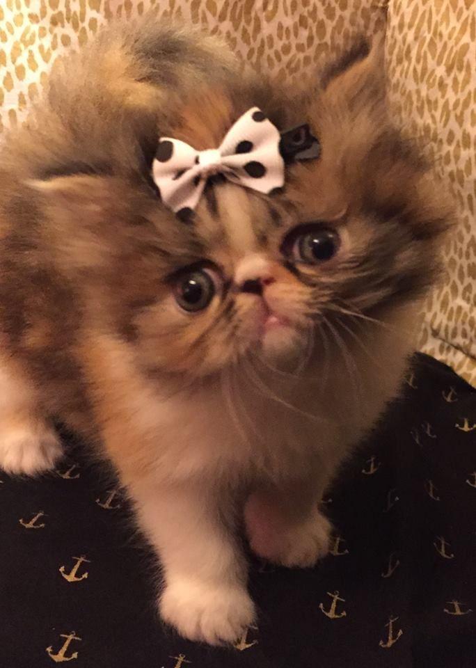 I M A Rare Lilac Lynx Mitted Ragdoll Baby Kitten Www Angelgirlragdolls Com Angels Ragdoll Cats For Sale Baby Kittens Kittens