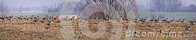 Anser albifrons - big beautiful bird in the wild