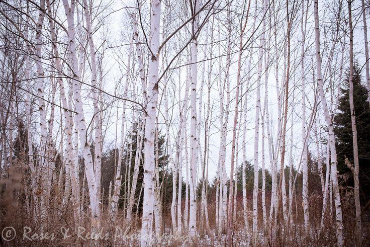 Birch forest in winter.