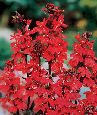 Lobelia, Cardinal Flower, , large