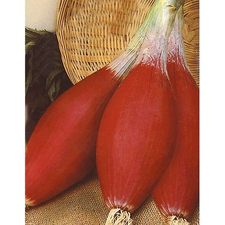 250+ Tropeana Lunga Onion Seeds *RARE* - Long tall bulbs are unique and popular with Mediterranean chefs. An old heirloom and a claimed relative of the shallot. This onion originates from greece, and is said to be one of the more vibrant heirloom onions on the market. Harvest mid-summer. The color is a deep purple-red and nearly impossible to find in America. Wonderful for dishes with lemon and zesty spices. - 70 d