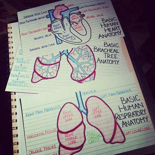 Human anatomy flash cards
