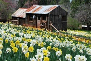 Daffodil Hill Sutter Creek California. This is on the list for a day trip this month with the fam!