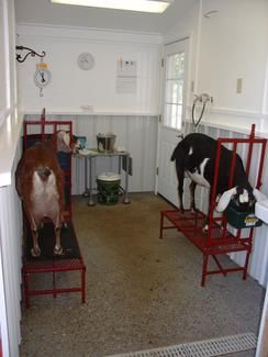An ideal goat milking parlor- so clean  Do not underestimate the importance of cleanliness! !!!! Much easier to sell and show off