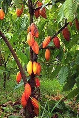 Cacao Tree ~ Sri Lanka