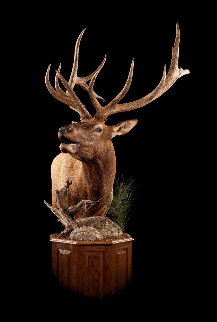 64 Best Elk Mounts Images On Pinterest Taxidermy Deer