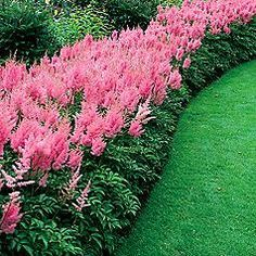 Astilbe in a border makes a fabulous show & grows equally well in full sun/partial shade. .LOVE this bright pink!