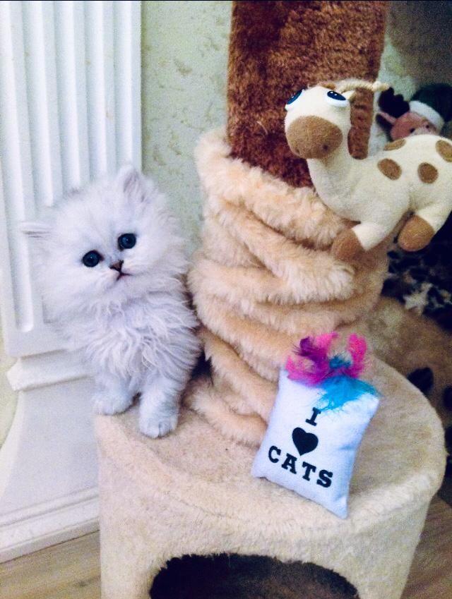 Liebe Katzenliebhaber Wir Haben Vier Perser Katzenbabys Europaischer Typ Mit Naschen 4 X Jungs In Farbe Chinchilla Sil Katzenliebhaber Chinchilla Katzen