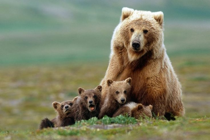POLL: Should the Grizzly Bear be removed from the Endangered Species List? by Supertrooper http://focusingonwildlife.com/news/poll-should-the-grizzly-bear-be-removed-from-the-endangered-species-list/