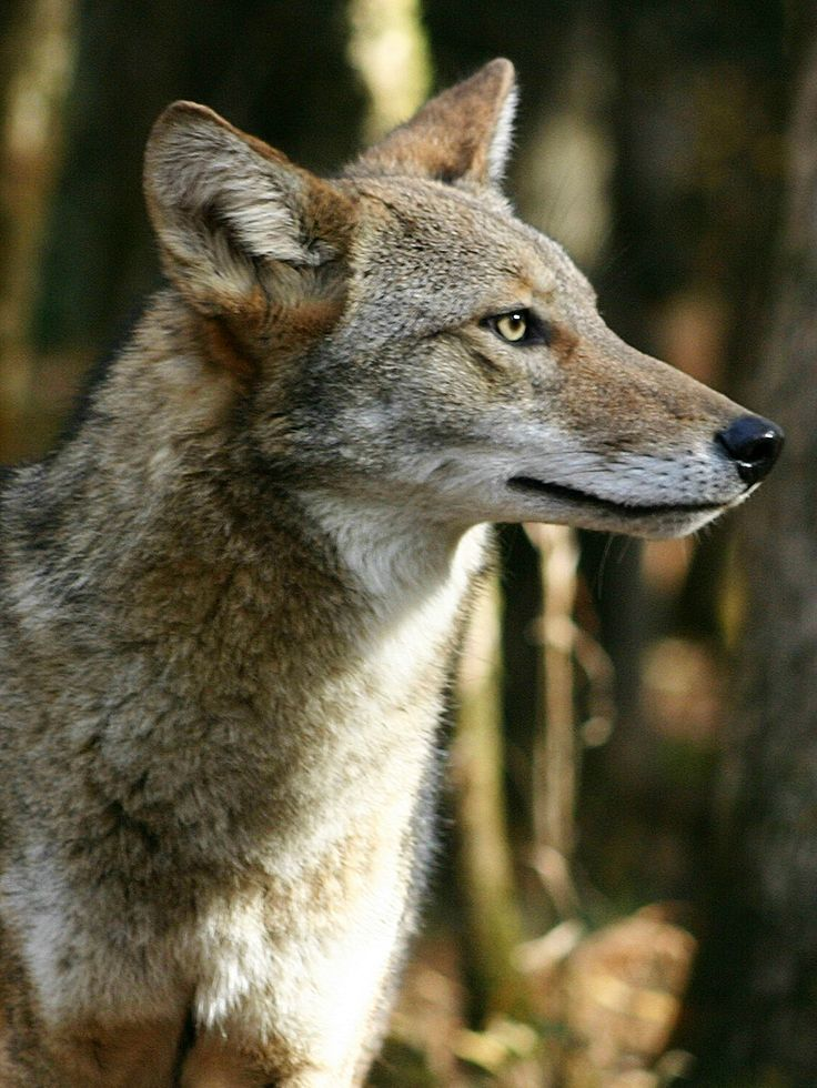 269 Best Coyote Images On Pinterest