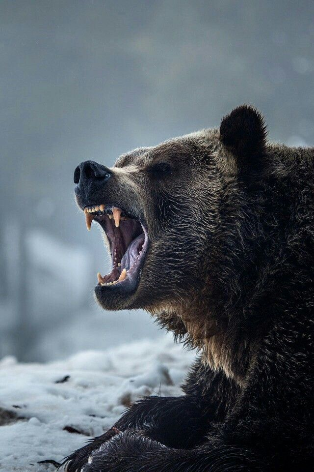 Grizzly Bear Close Up Nature Animals Animals Animals Beautiful