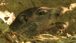 3 minute video on groundhogs and Groundhog Day.  Gives good facts about these creatures:)