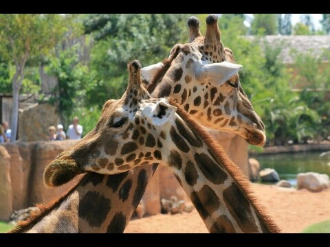 Giraffes. Love.