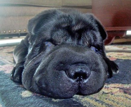 Shar-Pei Dog Breed Information and Pictures