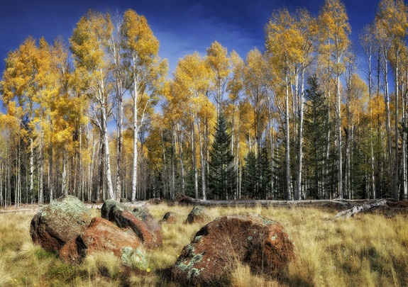 Aspens | 2012-2013 Arizona Highways Online Photography Contest  Submitted by: Dave Drost