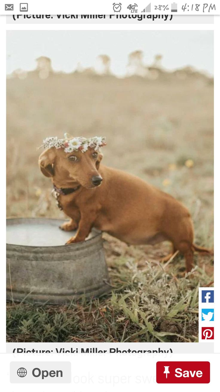 Maternity shoot for a doxie! I can't