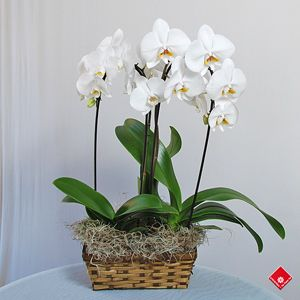 Phalaenopsis orchids in a basket
