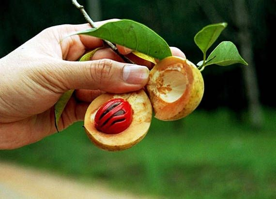 1 NUTMEG TREE Seed Myristica Fragrans Pala MACE Fruit Nut