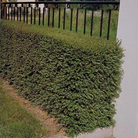 http://www.plantes-et-jardins.com/p/3530-chevrefeuille-arbustif