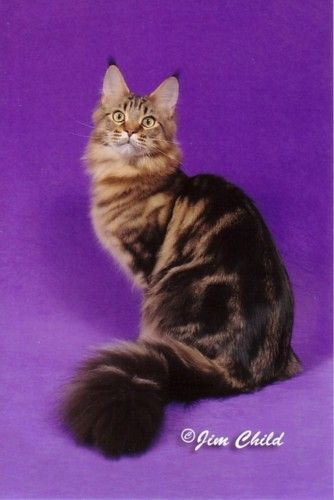 Maine Coon Cat . . . LOVE them!!