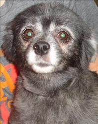 Gracie is an adoptable Pomeranian Dog in Lexington, KY. Hi, my name's Gracie. I'm an older pomeranian mix that's around 9 years old and I weigh about 5 pounds. I was brought into the shelter by our pr...