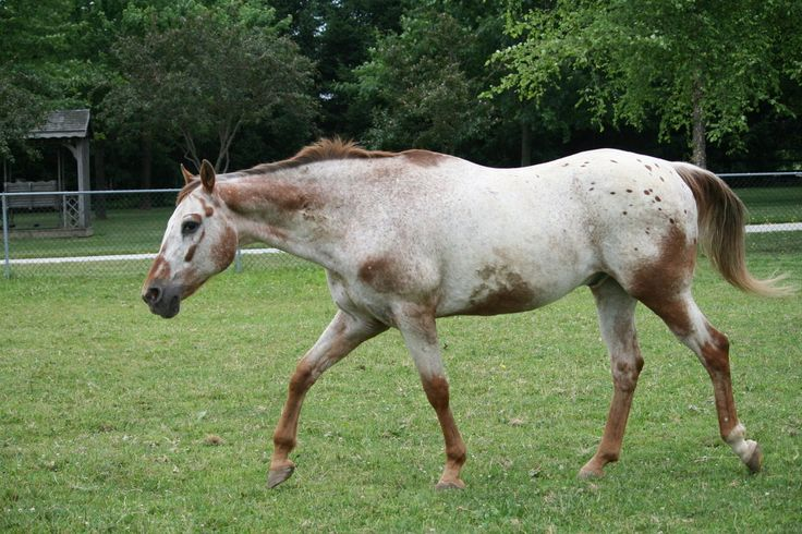 Chestnut Varnish Roan Unknown Horse Colours
