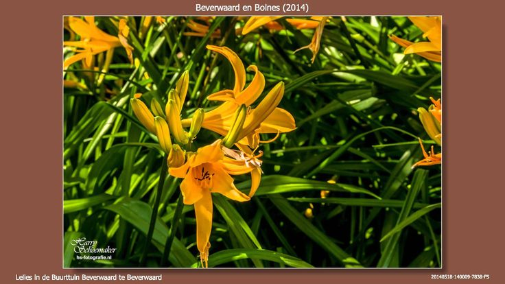 2014 05 18 Beverwaard en Bolnes  Een wandeling van 18 mei 2014 door Beverwaard en Bolnes met weer behoorlijk wat planten en bloemen  #Beverwaard #Bolnes #planten #bloemen  https://youtu.be/M9lGpiO_kkU
