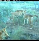 Wildlife Rescue Magazine suggests Reconyx HC600 5 wild dogs. Image courtesy of Gary Lukritz.
