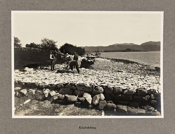 Klipfiskberg, 1920 Drying of klippfisk (split, salted and dried cod). Dato / Date: september 1920 Sted / Place: Møre og Romsdal, Ålesund