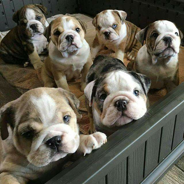 Babies bulldog