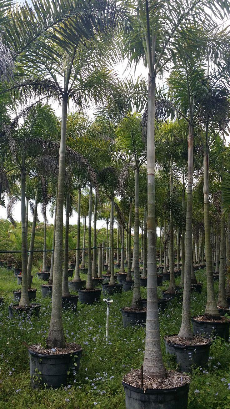 wholesale plant nursery Florida - Foxtail palm tree wholesale Homestead Florida Single Stem Foxtail Field Growers