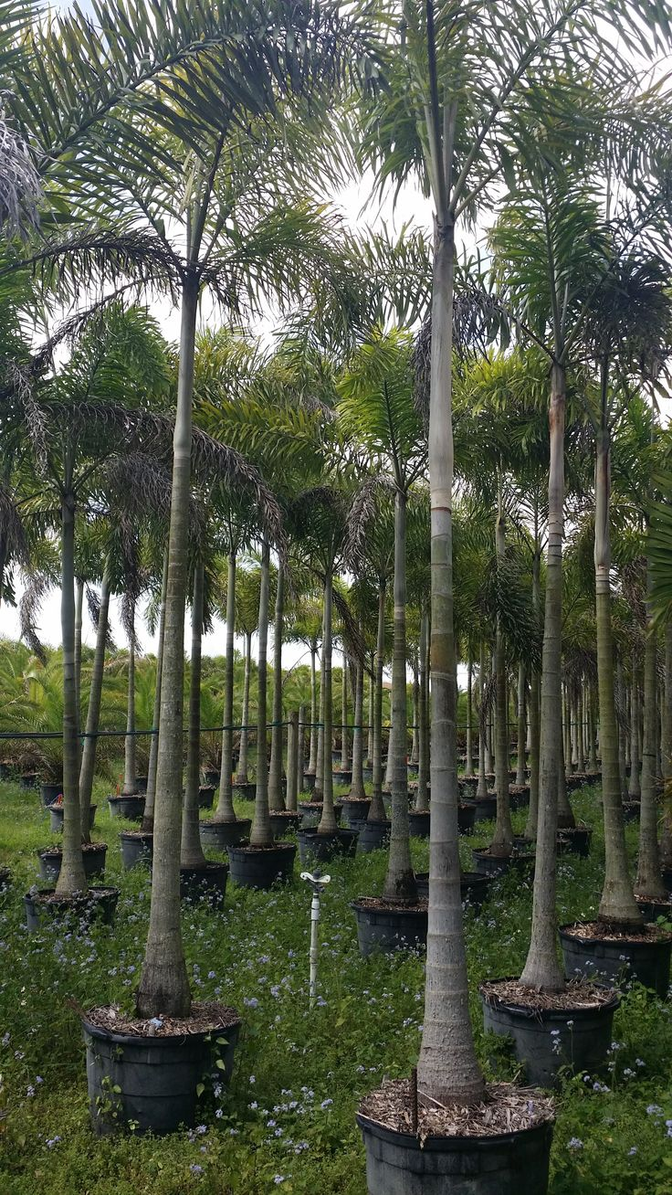 wholesale plant nursery Florida - Foxtail palm tree wholesale Homestead Florida Single Stem Foxtail Field Growers