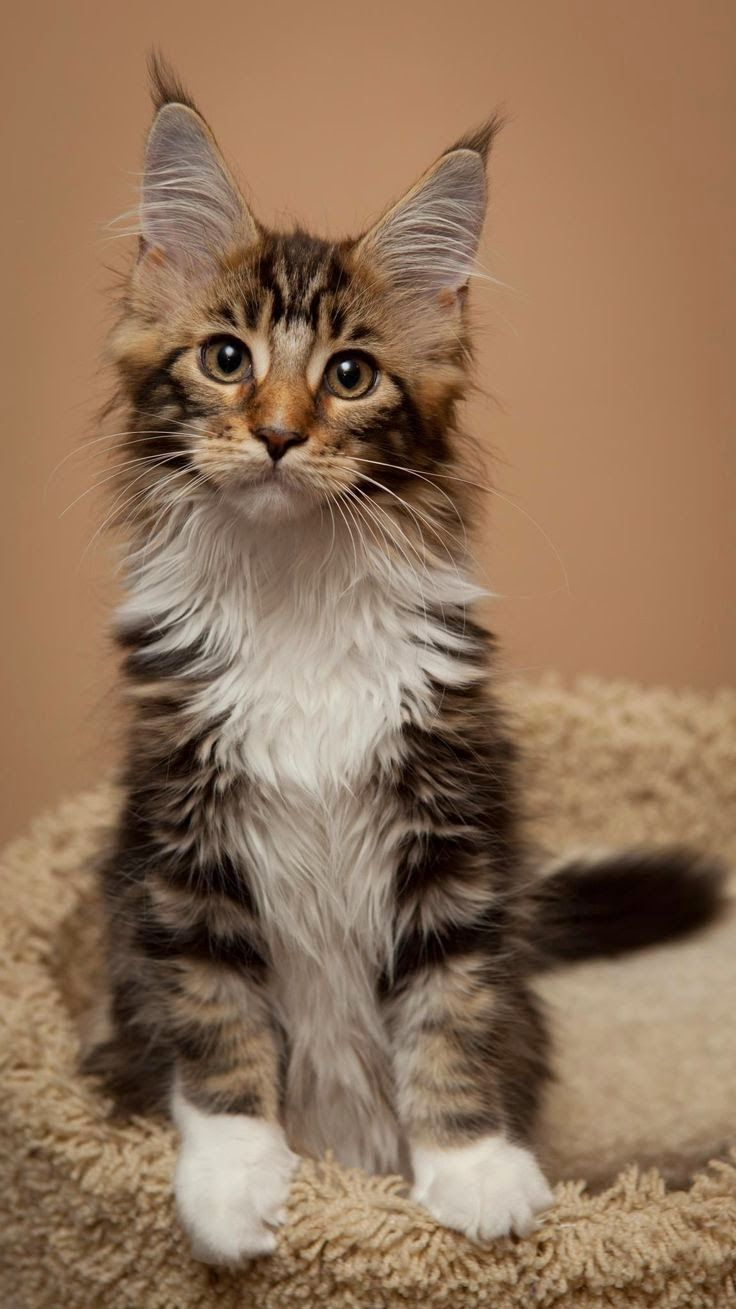 Top 5 Friendliest Cat Breeds Maine Coon http://www.mainecoonguide.com/where-to-find-maine-coon-kittens-for-sale/