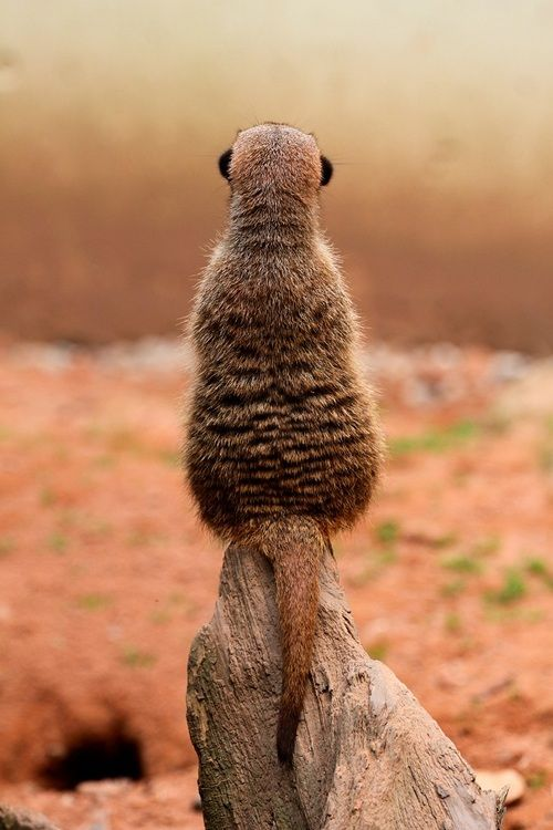 """MEERKATS....also known as African Suricate.....live in grasslined burrows in the Kalahari Desert and parts of Southern Africa....a body length of 10 - 14 inches, a tail of 6.5 - 10 inches, and a weight of 1.5 - 2 lbs.....known for their daring diet:....able to kill and eat venomous snakes and scorpions without being hurt...live in groups called """"mobs"""" which consist of 2-3 families sharing a single burrow"""