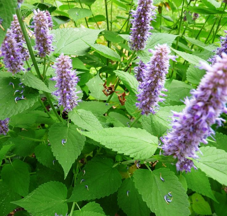 Agastache rugosa syn lophanthus rugosus seeds for Agastache cuisine
