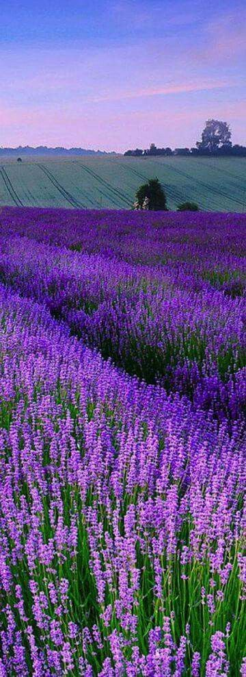 Lavender field in England                                                       …