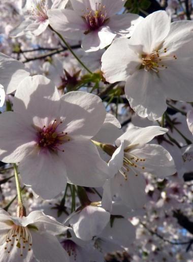 Réussir son hanami au Japon |vivrelejapon.com