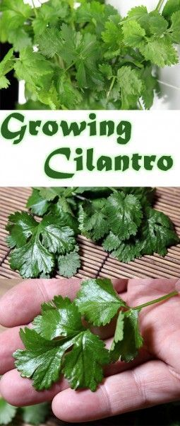 I have been a gardener my entire life. I finally found the best way to grow cilantro. I love my little garden