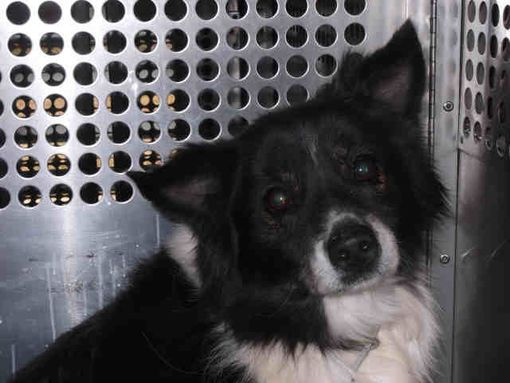 Austin Tx Border Collie Meet Blacky A Pet For Adoption Pet Adoption Border Collie Pets