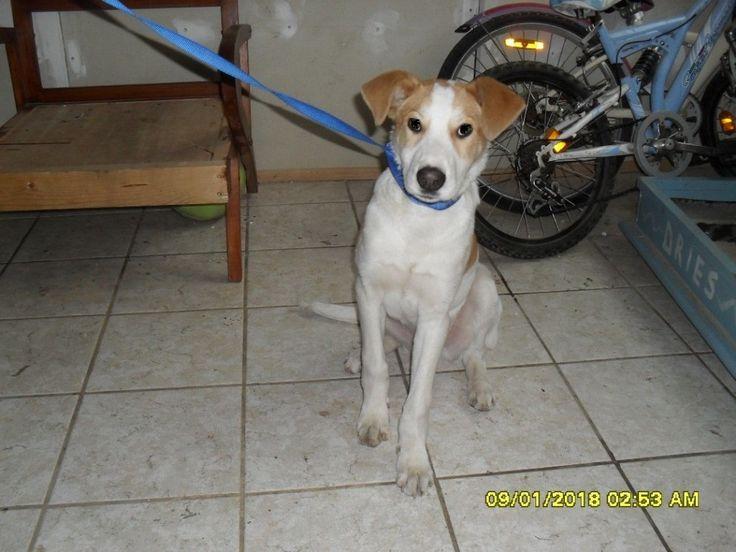Greasy cucciolone simil labrador di circa 7 mesi, è cresciuto troppo e deve andare via - Hormiga Adozioni cani gatti