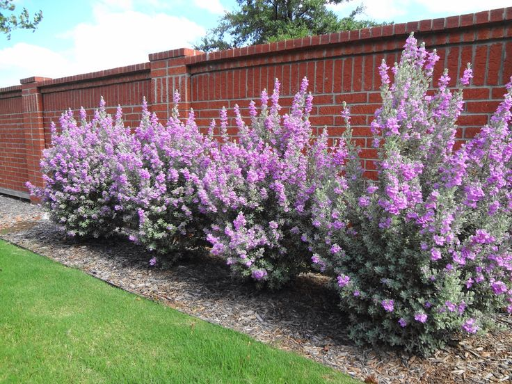 Our gorgeous Texas Sage ~ just took a little rain to get them blooming!