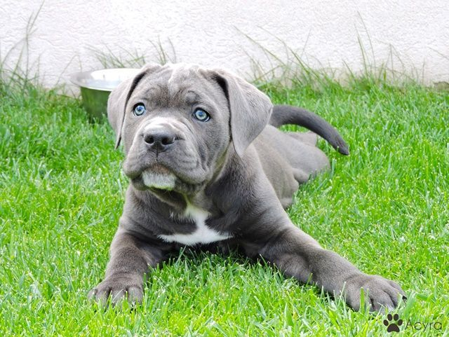 Cane Corso Male Puppy For Sale Acyra Is The Most Beautiful Beautiful Blue Eyed Cane Corso Puppy Amstaff In 2020 Cane Corso Puppies Cane Corso Blue Cane Corso Puppies