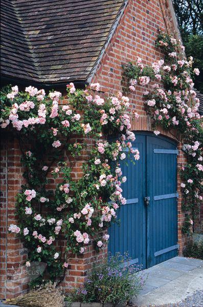 Rose Albertine - rambling rose, flowers June and July